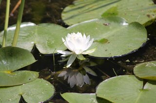 Waterlily Blossom