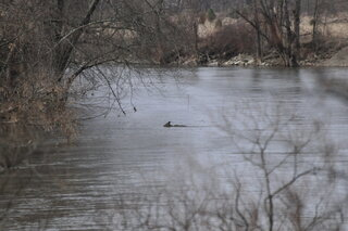 Deer swims the Chenango River in Greene