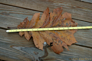 Big Oak Leaf
