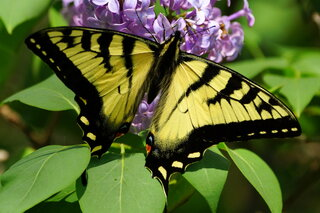 Monarch Butterfly & Lilac = Spring