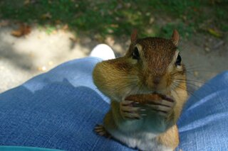 Hungry chipmunk !