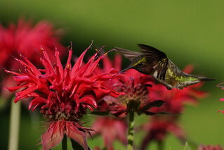 Hummingbirds today enjoying Bee Balm