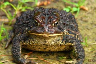 Mean Looking Toad