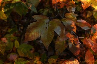Catskill Leaves