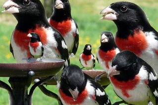 rose breasted grosbeak collage