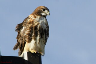 Red Tailed Hawk on light pole