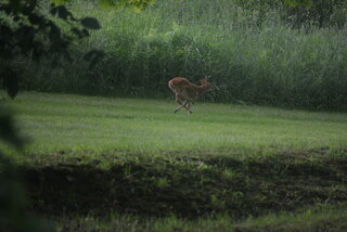 Fawn On The Run