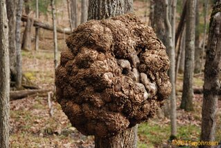 Big Burl on Small Tree
