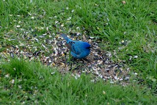 Indigo Bunting came to eat.