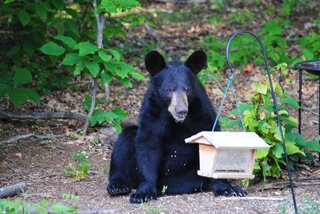 Back yard Bear