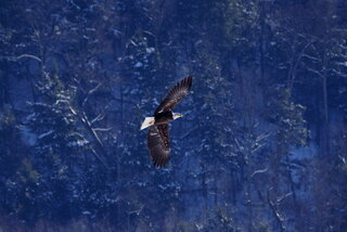 American Bald Eagle today