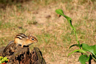 Backyard Chipmunk poses for photo