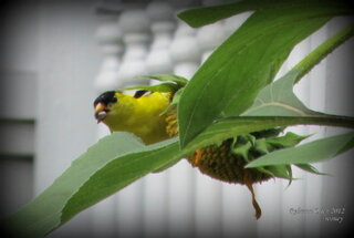 Yellow Finch Enjoying Sunflower Seeds