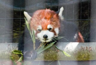 Red Panda at Ross Park