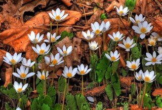 Bloodroot Treasures!