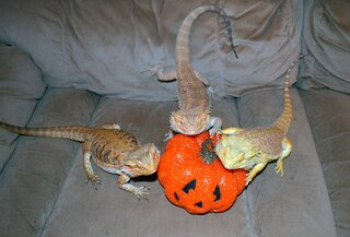 Bearded Dragon's Halloween