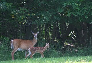 Mother and Fawn