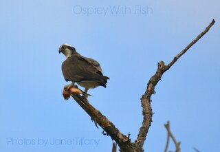 An Osprey With a Fish!