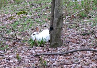 Lost White Rabbit in Endicott?