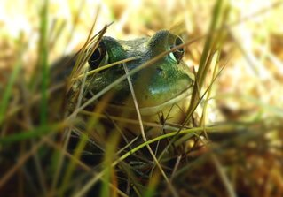 Frog Hamming it up for the Camera