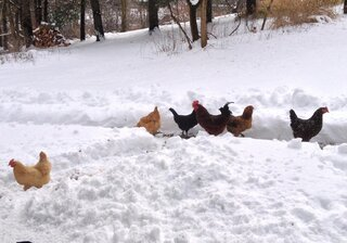 Chicken don't mind the snow