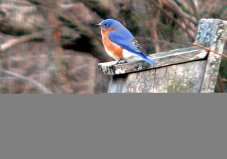 Bluebirds Think It's Spring
