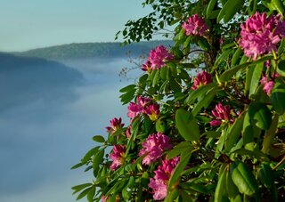 PA Grand Canyon Rhododendrons!