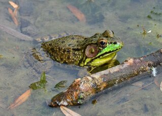Frog sets in wait