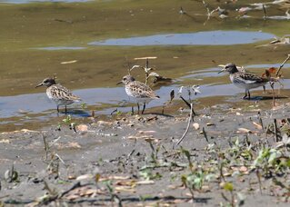 Sandpipers Feeding Along the Chenango