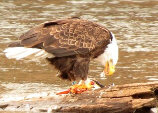 Eagle lunch time