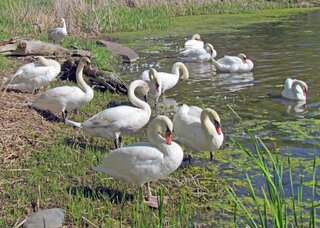 Mute Swans are Definitely NOT Mute!