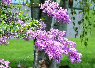 Got to love lilacs