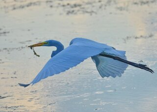 Egret becomes Bluebird of Happiness