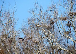 Local Great Blue Heron Rookery