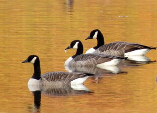3 Canadian Geese