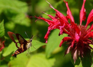 Clearwing Hummingbird / Hawk Moth