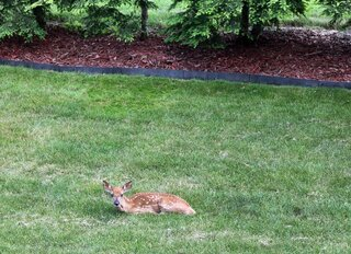 Baby deer gets lost in suburbia