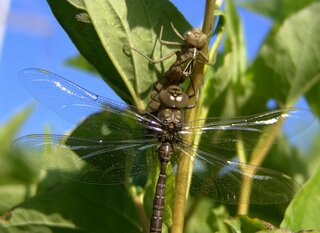 Dragonfly Metamorphis