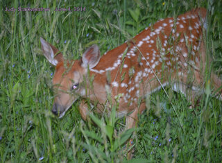 A beautiful fawn!