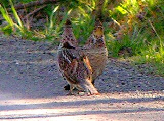 Two Ruffed Grouse