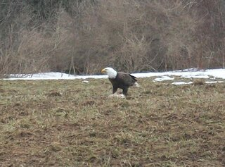 bald eagle in east masonville ny