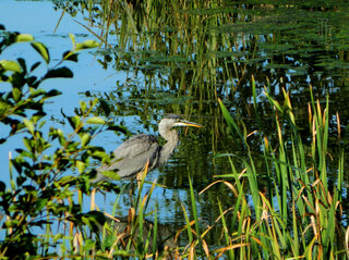 Morning meal, Heron style