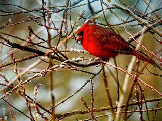 Morning Cardinal in the Pussy Willows!