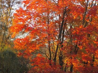 Backyard Fall Tree in Kirkwood, NY