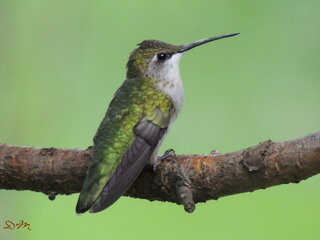 Hummingbird resting on a branch