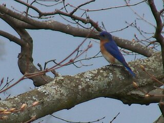 Bluebird looking for a place to nest.