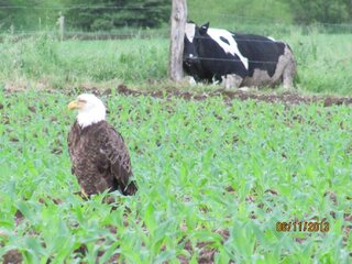 Slice of Americana - Bald Eagle