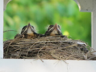 Sima's Brood - Last day in the nest