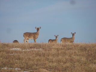 Deer grazing on a late winter's day.