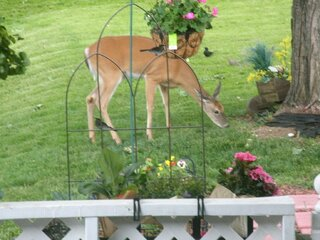 Bambi Pays a Visit